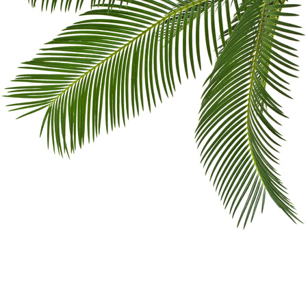 foliage frond: Corner Border of Palm leaves close up with copy space, isolated on white background