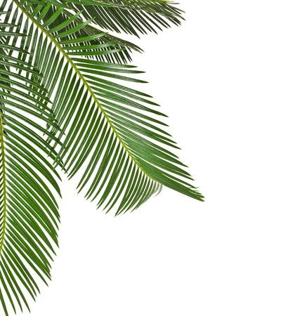 hamedoreya: Border of Palm leaves close up isolated on white background