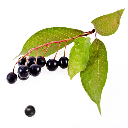 riped: bird cherry branch with hackberry close up isolated on a white background