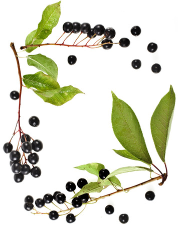rosids: border frame of bird cherry branch with berries top view close up isolated on a white background