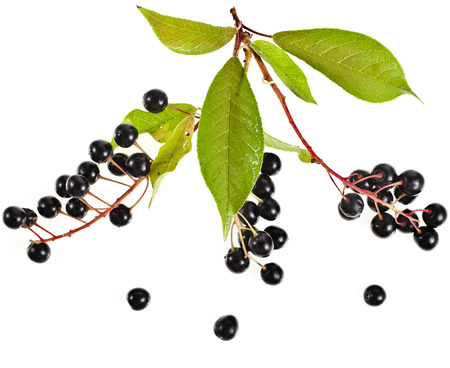rosids: bird cherry branch with ripe berries isolated on a white background