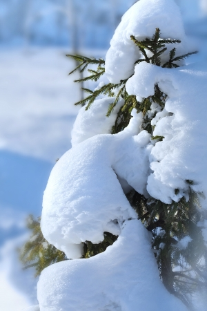 Frozen fir spruce tree in the snow winter forest photo