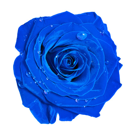 beautiful blue rose head with water drops close up isolated on white background