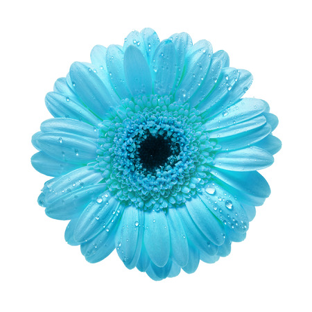 gerber: Single Gerbera flower with water drops isolated on white background
