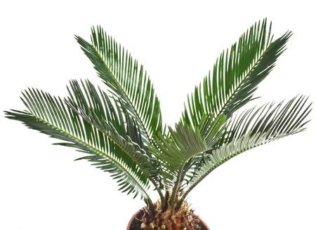 dactylifera: sago palm tree isolated on white background Stock Photo