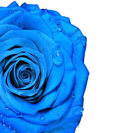 aqua flowers: beautiful blue rose with water drops Stock Photo