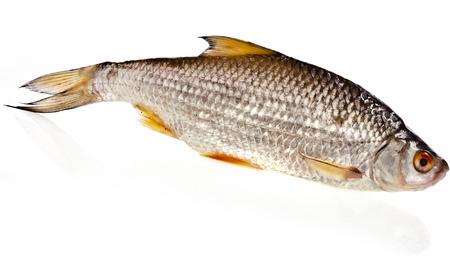 cyprinidae: fresh fish roach isolated on white background