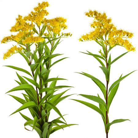 goldenrod: Solidago canadensis Goldenrod flower isolated on white background