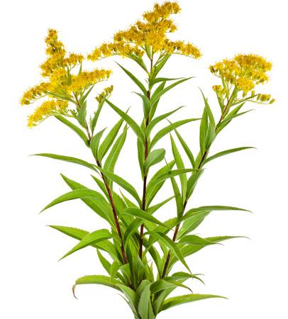 pedicel: Golden Rod Solidago virgaurea flower isolated on white background