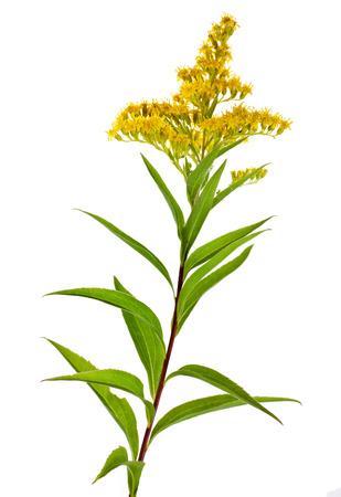 goldenrod: Solidago Virgaurea Canadensis Goldenrod flower isolated on white background