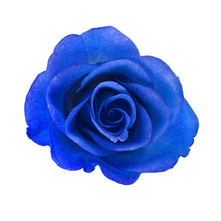 blue rose: beautiful blue rose with water drops surface close up background