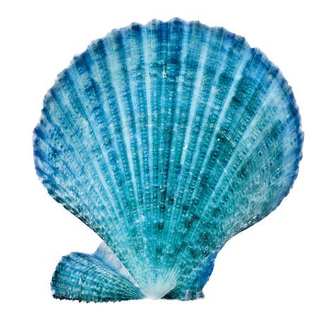 petoncle: Un coquillage bleu près isolé sur fond blanc