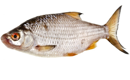 bullhead fish: fresh fish roach isolated on white background