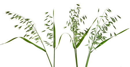 green panicles of field oat set close up isolated on white background photo