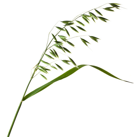 fresh green field oat closeup isolated on white background photo