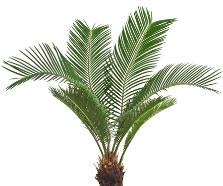 cycadaceae: One Palm tree isolated on white background