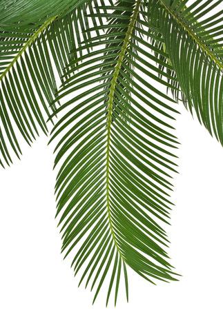 hamedoreya: Border of Palm leaf isolated on white background