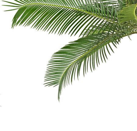 hamedoreya: Border of Palm leaves isolated on white background Stock Photo