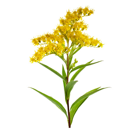 Golden Rod Solidago virgaurea flower isolated on white background