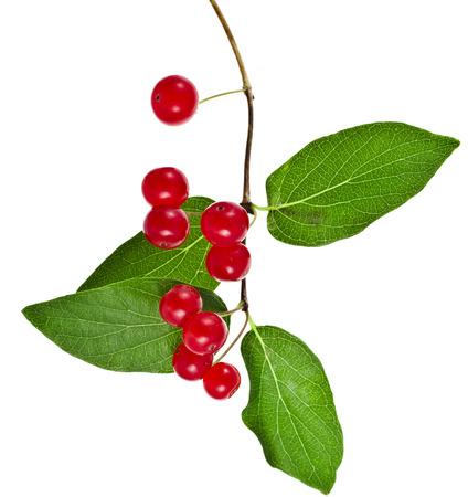 honeysuckle: Tartarian Honeysuckle  Lonicera tatarica  plant with red berries isolated on white background