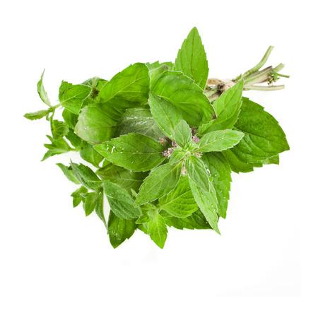 origanum: Fresh Oregano or Marjoram Herb close up macro  origanum majorana   isolated on white