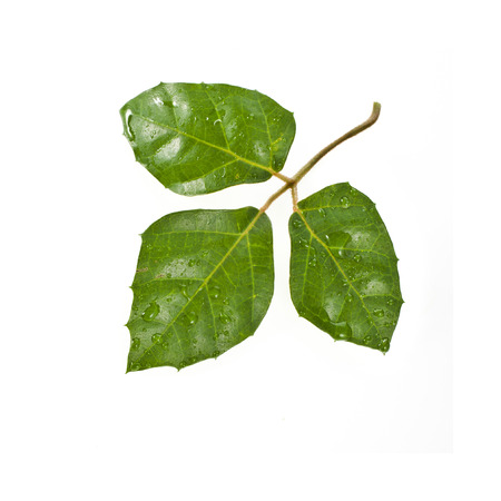 three leafed: Rhoicissus liana cissus isolated on white background Stock Photo