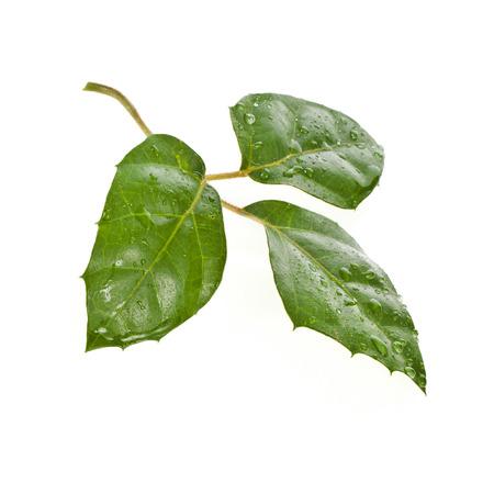 liana: Rhoicissus liana cissus isolated on white background Stock Photo