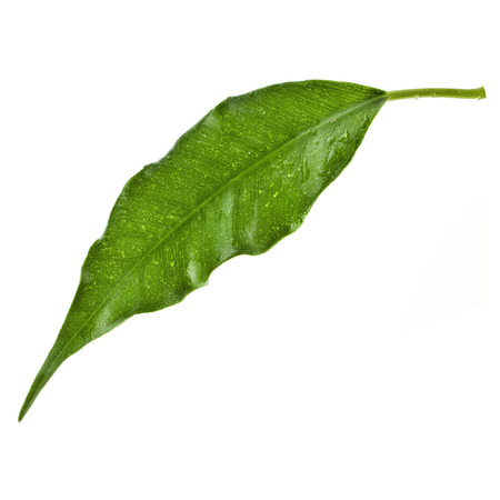 one green leaf of ficus tree close up isolated on white background photo