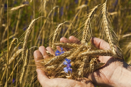farmer holding a spikelets of rye against the background of the field photo