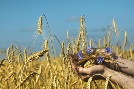 corn flower: Farmer holding a spike of rye against the blue sky background  Harvest concept