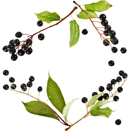 rosids: border frame of bird cherry branch with berries isolated on a white background