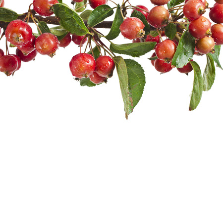 rennet: border frame of red small apples on a branch  Isolated on a white background Stock Photo