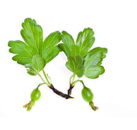 gooseberry bush: unripe fruit gooseberry isolated Stock Photo