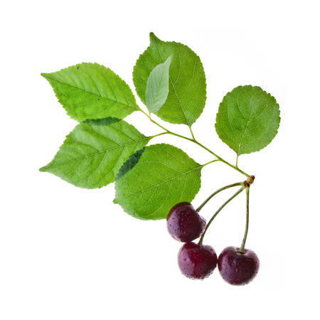 cherries on a tree branch isolated on a white photo
