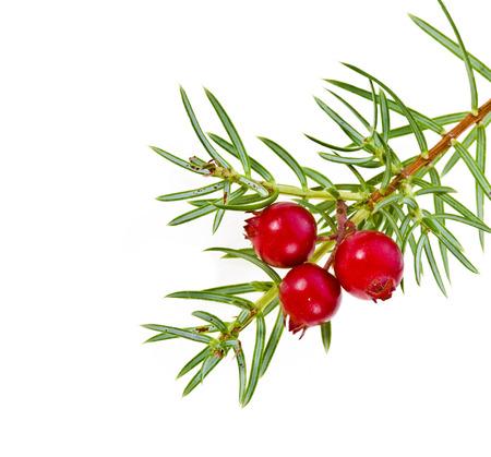 enebro: ramificación de la Navidad con bayas de enebro rojo aislado en blanco