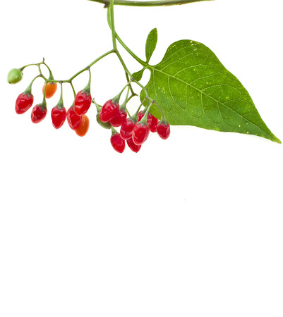 belladonna: nightshade plant with red berries isolated over white   Atropa belladonna