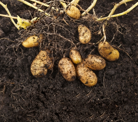potato leaves: potato plant with tubers in soil dirt surface