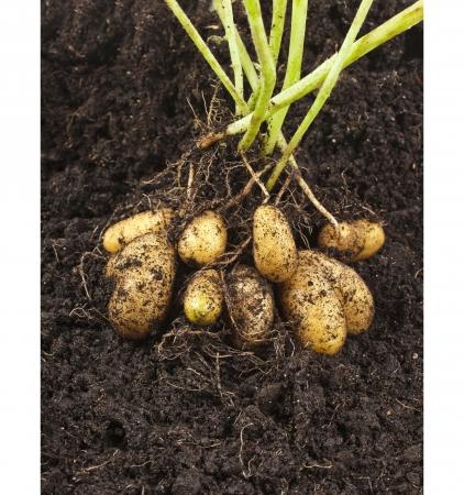 土土の表面の塊茎を持つジャガイモ野菜