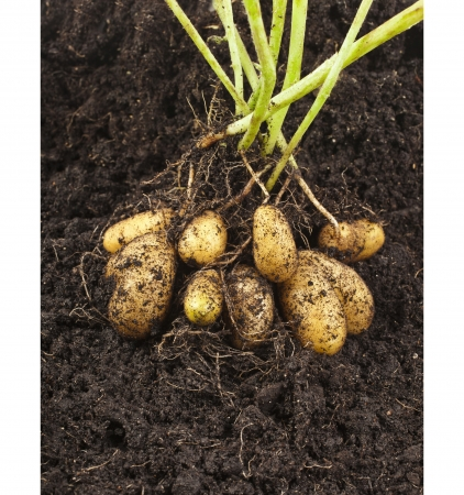 potato vegetable with tubers in soil dirt surface  Banco de Imagens