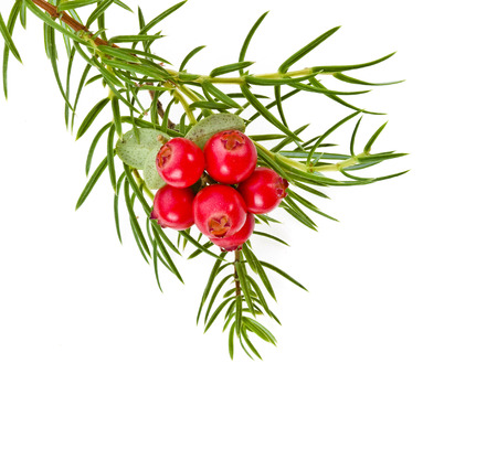juniper tree: christmas branch of juniper with red berries isolated on white
