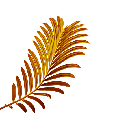 cycadaceae: Colored Palm Leaf isolated on white background
