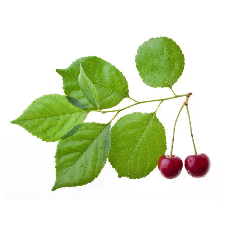 two cherries on a tree branch isolated on a white photo