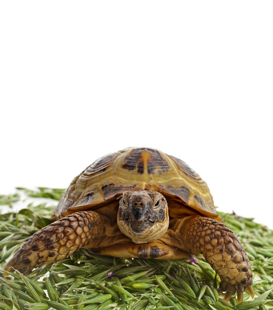 herman: Turtle standing in heap green oat seeds close up isolated on white background Stock Photo