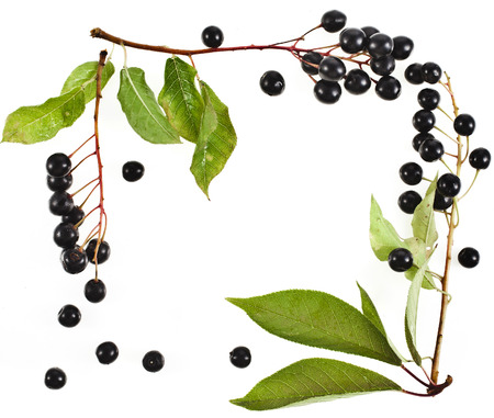rosids: border frame of bird cherry branch with black berries isolated on a white background