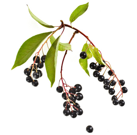 rosids: The branch of bird-cherry tree  Prunus padus  isolated on a white background