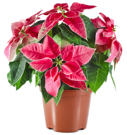 christmas flower: christmas flower - Red poinsettia close up macro isolated on a white background