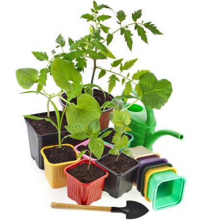 tomate de arbol: Plantas jóvenes brotes y ollas caja de colores aislados sobre fondo blanco