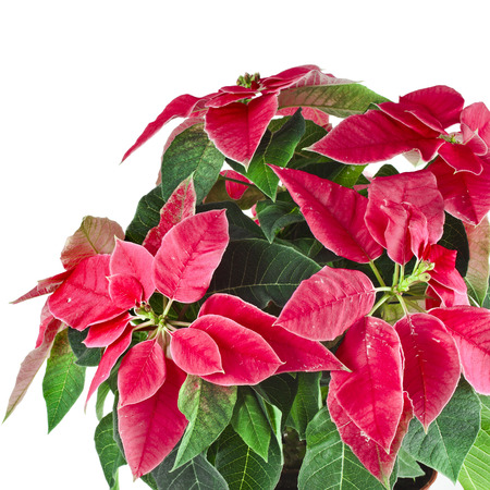 christmas flower - Red poinsettia close up macro isolated on a white background  photo
