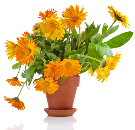 garden marigold: beautiful bouquet of flower calendula officinalis in ceramic flowerpot Isolated on white background