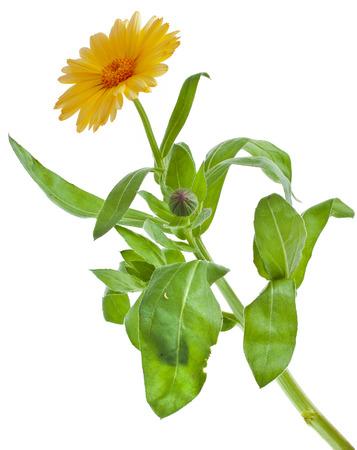 garden marigold: One Single orange flower calendula close up macro Isolated on white background